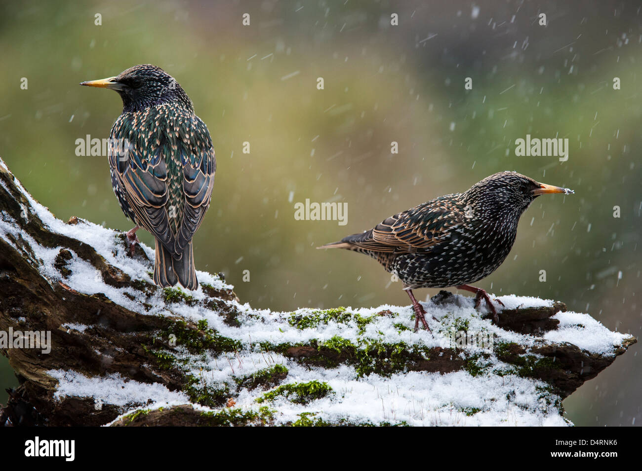 Two Common Starlings / European starling (Sturnus vulgaris) perched on tree stump in the snow in winter - Stock Image