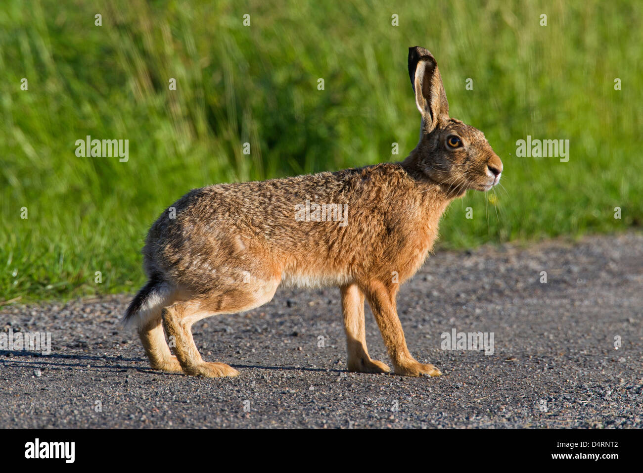 European Brown Hare (Lepus europaeus) crossing road - Stock Image