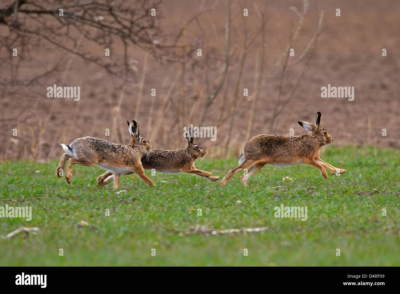 European Brown Hare (Lepus europaeus), males chasing female during the breeding season in early spring - Stock Image