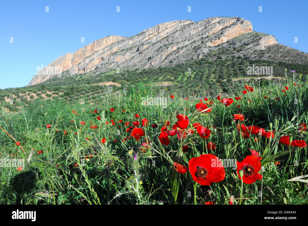 Some poppies - Stock Image