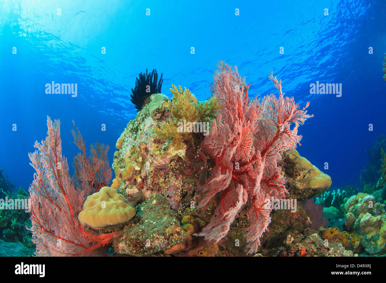 Sea fans on coral reef Stock Photo