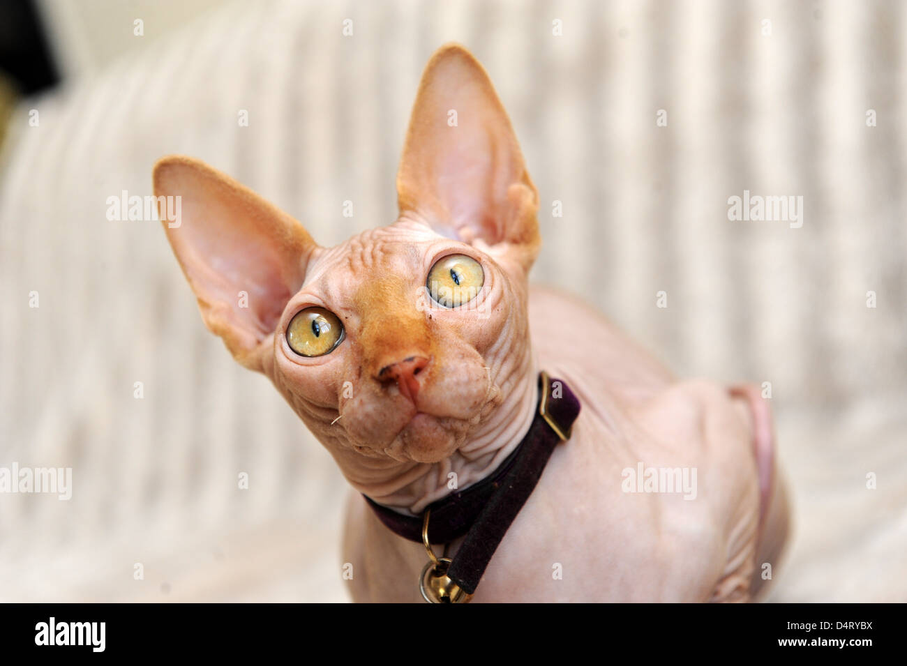 Sphynx Cat - Stock Image