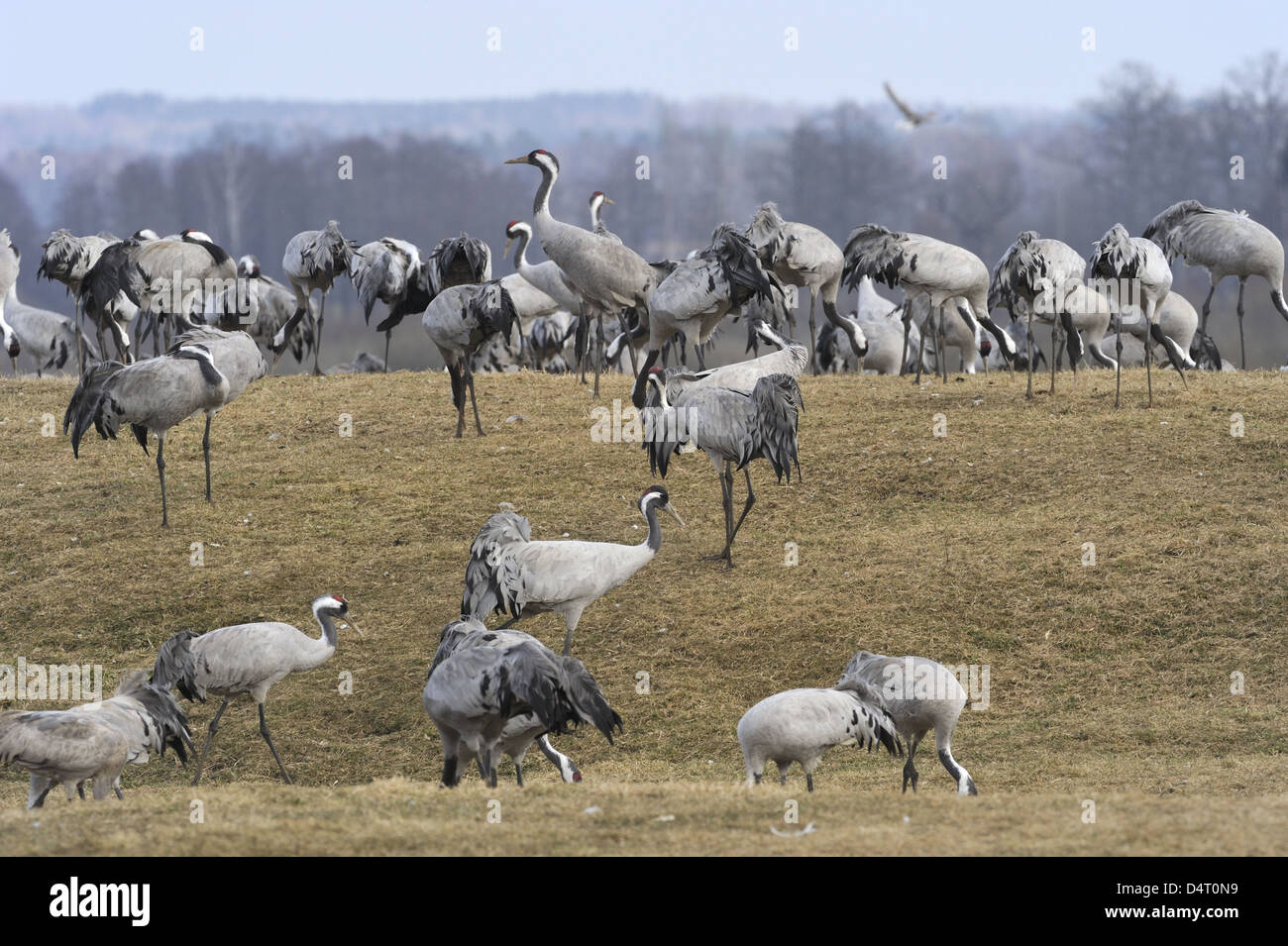 Cranes (Grus grus) are dancing and resting by Hornborgasjön in breeding season Stock Photo