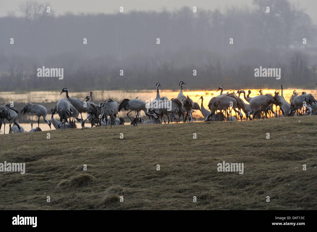 Cranes (Grus grus) on the feeding field at dawn Stock Photo