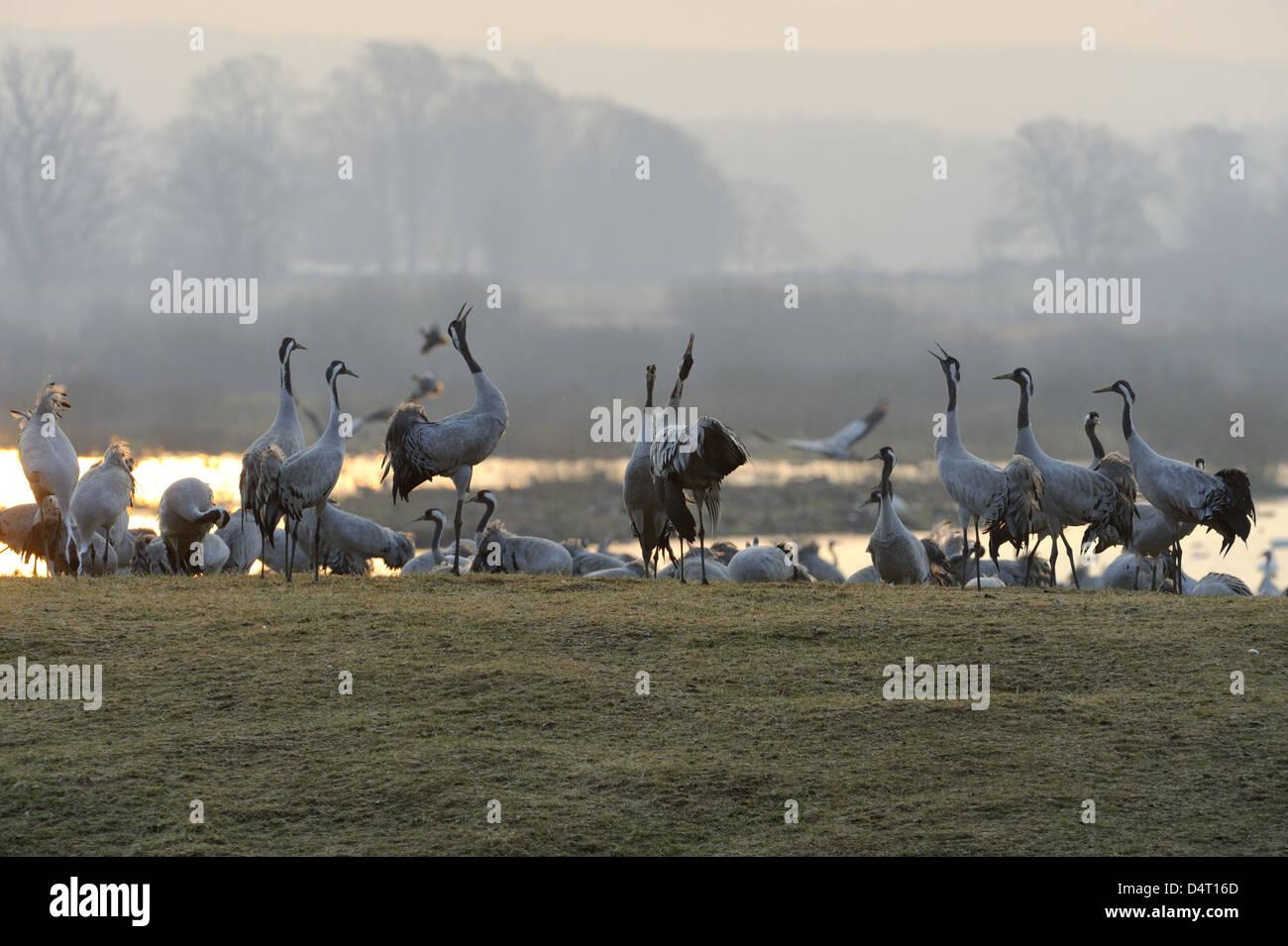 Cranes (Grus grus) dancing on the feeding field at dawn Stock Photo