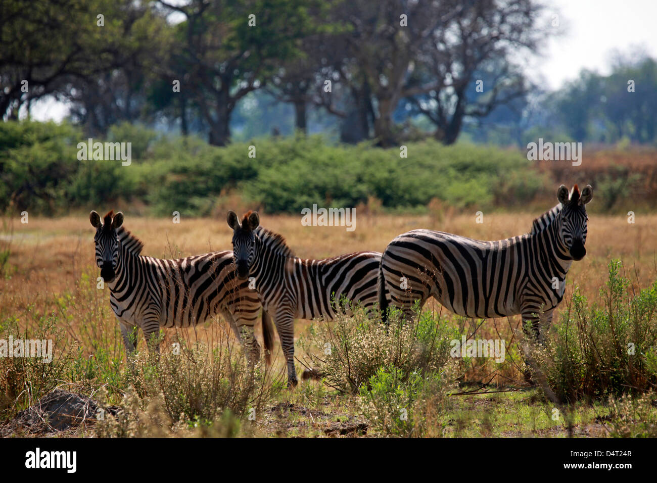 Botswana, Okavango Delta. Burchell's Zebra. - Stock Image