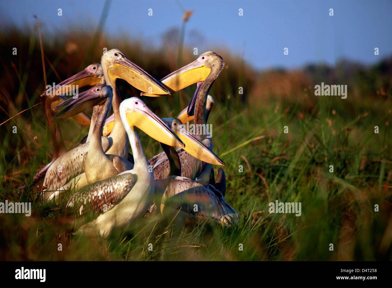 Botswana, Okavango Delta. Pink-backed Pelicans. - Stock Image