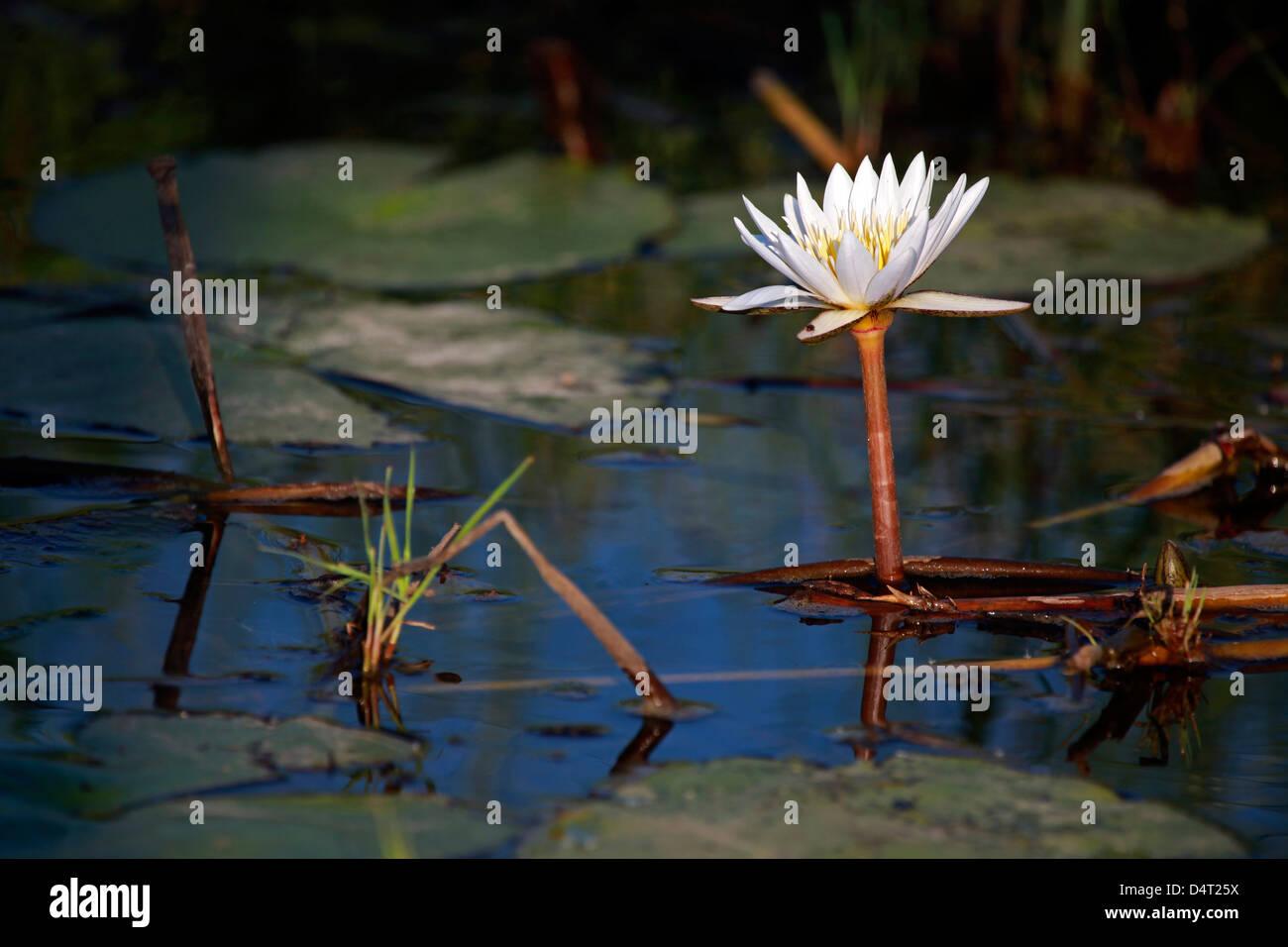 Botswana, Okavango Delta. Water Lily of the Okavango. - Stock Image