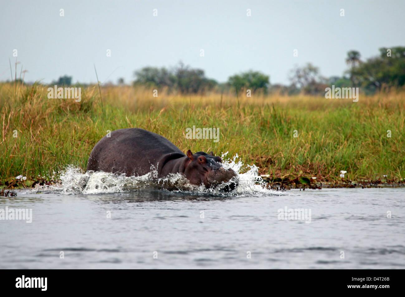 Botswana, Okavango Delta. Hippo of the Okavango Delta. - Stock Image