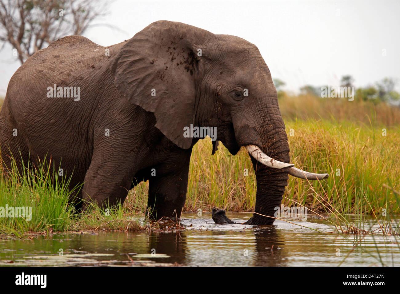 Botswana, Okavango Delta. Elephant of the Okavango Delta. - Stock Image