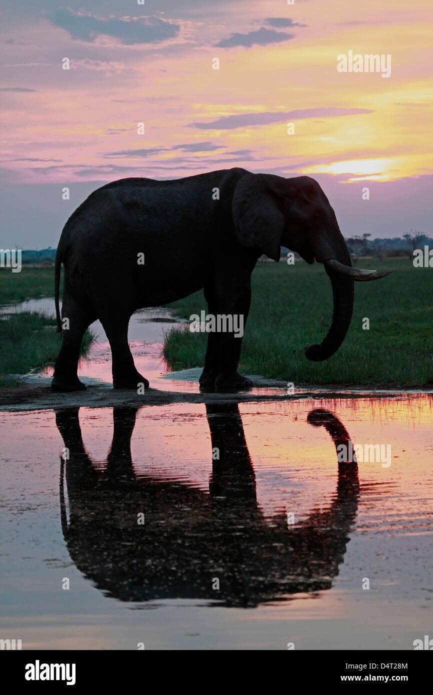 Botswana, Savute. Elephant reflection in Chobe National Park. - Stock Image