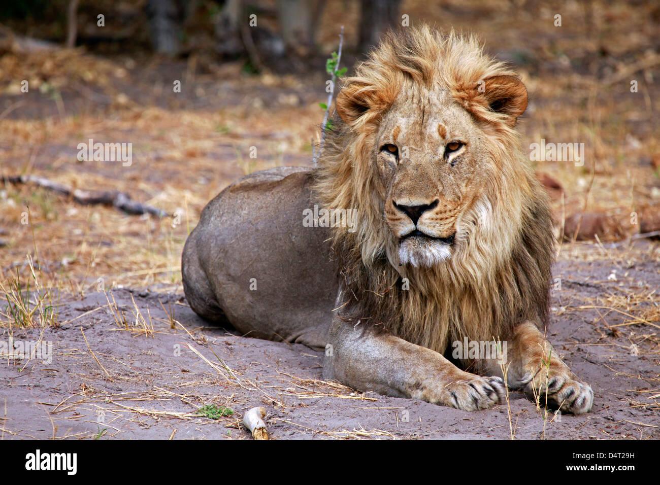 Botswana, Savute. Male lion of Savute in Chobe National Park. - Stock Image