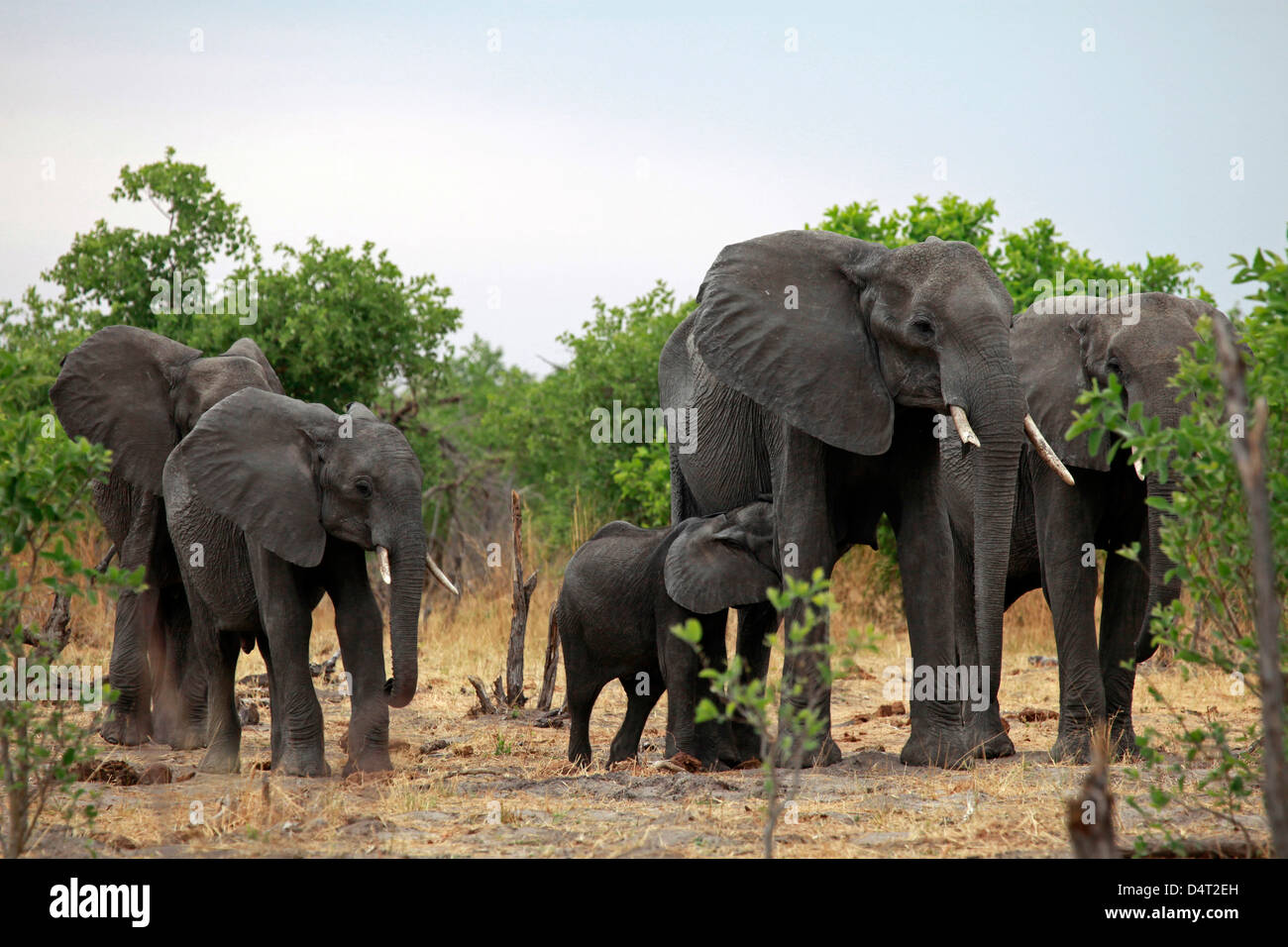 Botswana, Savute. Elephant family of Savute in Chobe National Park. - Stock Image