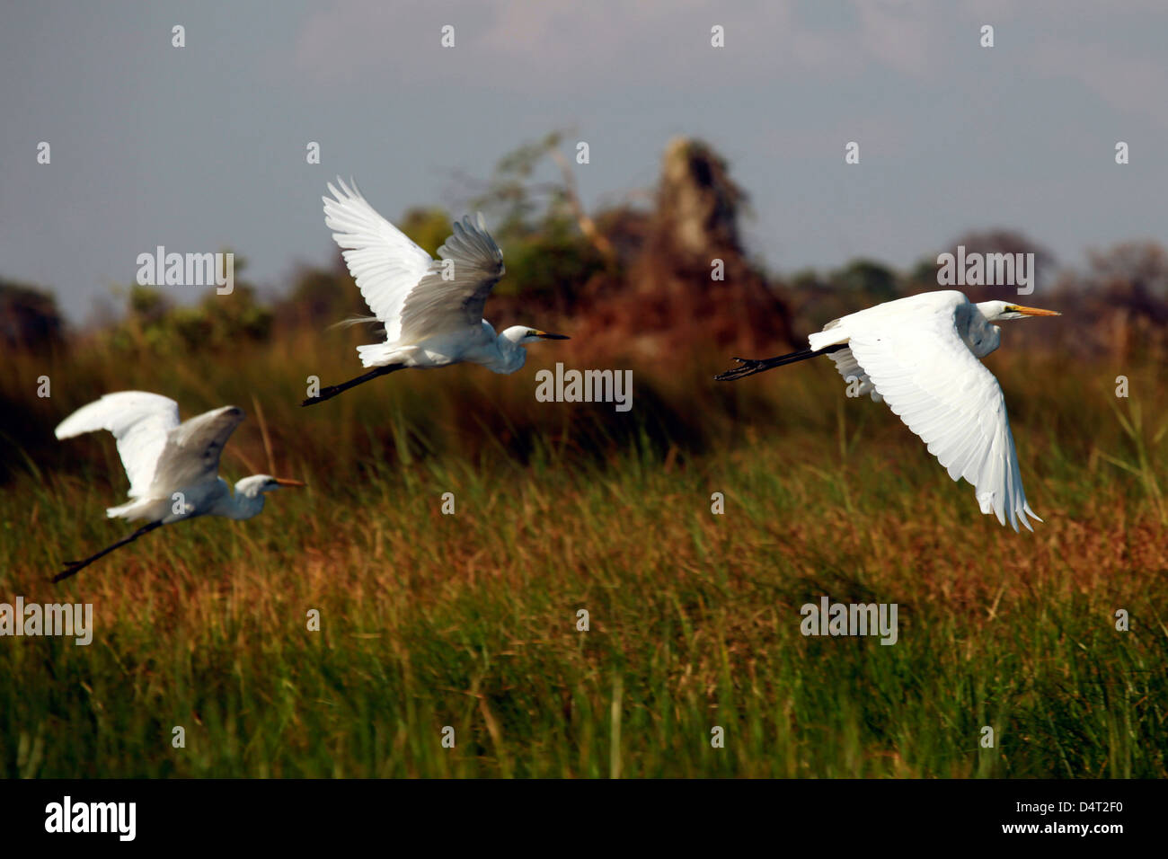 Botswana, Okavango Delta. Great White Egrets in flight over the Okavango. - Stock Image