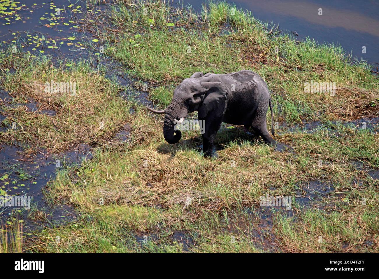 Botswana, Okavango Delta. Aerial view by helicopter safari of elephants in the Okavango Delta. - Stock Image