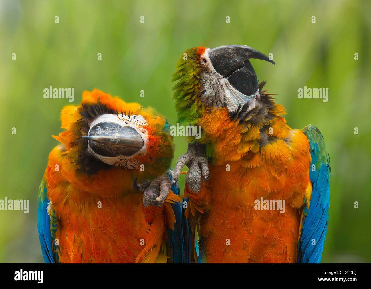 Two Macaws sitting together - Stock Image