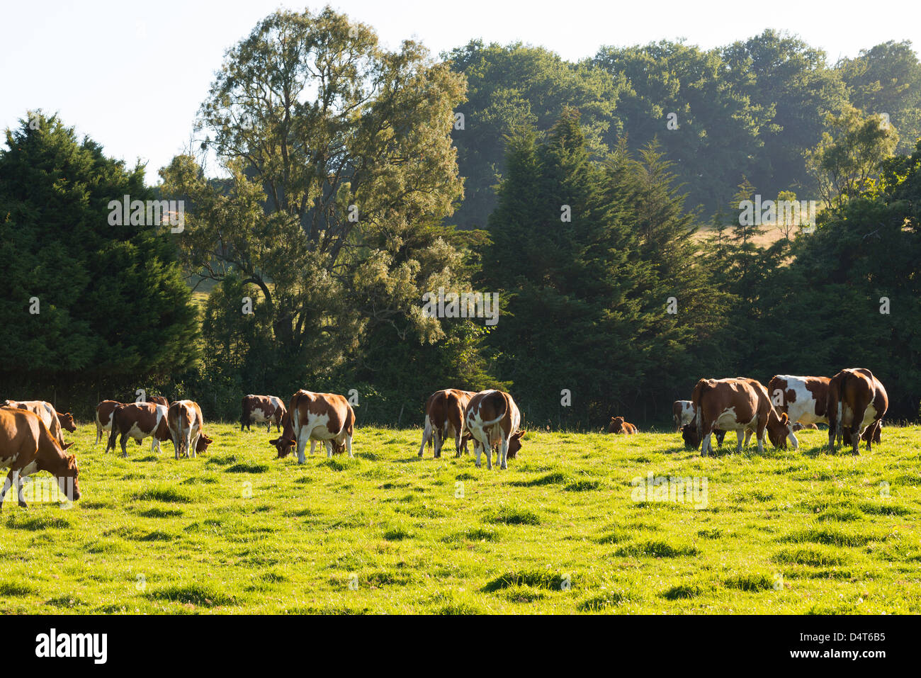 Cattle grazing in Southern Chile - Stock Image