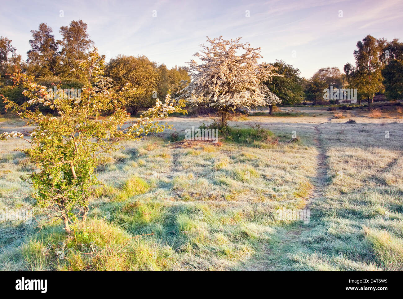 Late ground frost May blossom on Hawthorn trees Cannock Chase Country Park AONB (area of outstanding natural beauty) - Stock Image