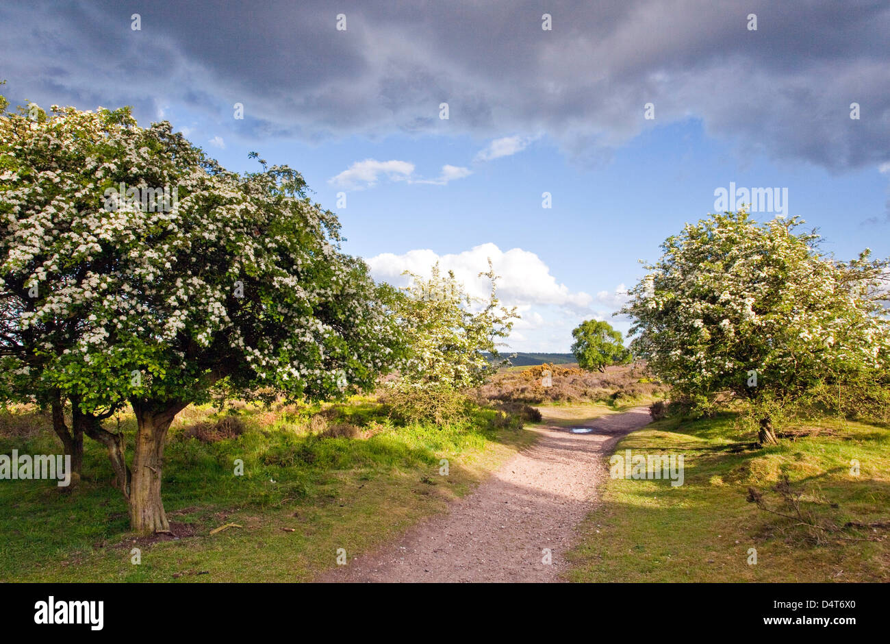 Heart of England Way footpath May blossom on Hawthorn trees Cannock Chase Country Park AONB (area of outstanding - Stock Image