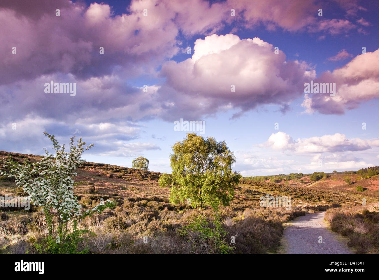 Foot path trees heathland hills on Cannock Chase Country Park AONB (area of outstanding natural beauty) in Staffordshire - Stock Image