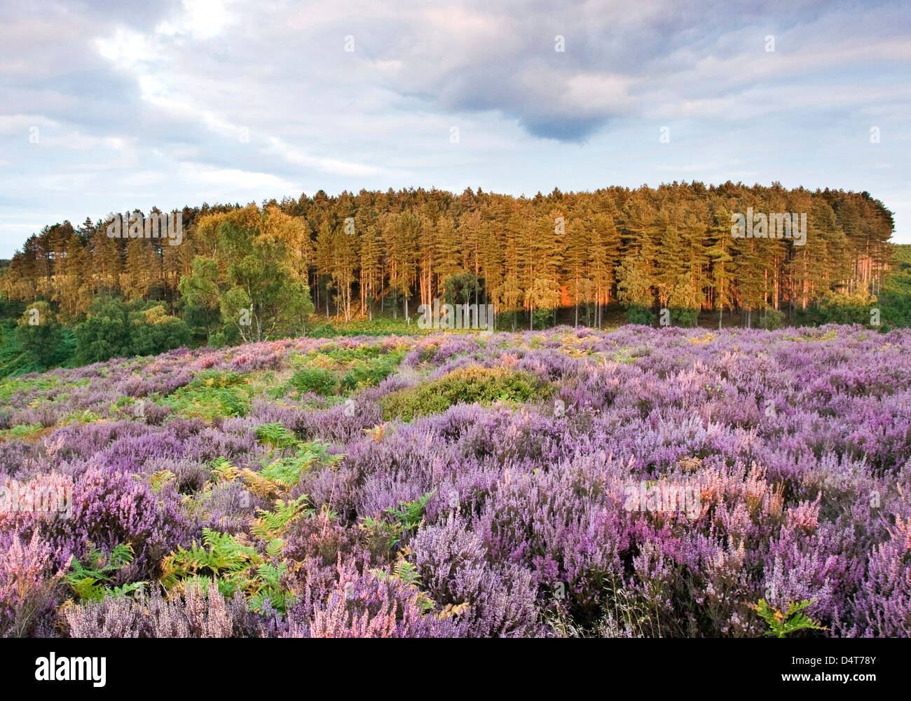 Path across heather in bloom heathland hills view towards Sherbrook Valley in summer Cannock Chase Country Park - Stock Image