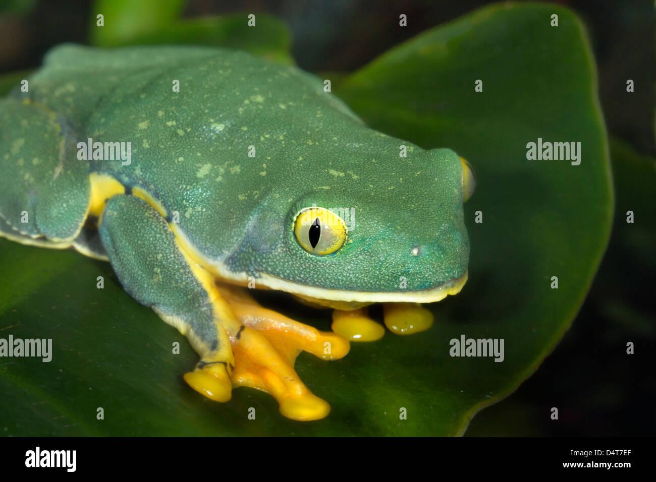 The splendid leaf frog (Cruziohyla calcarifer) portrait. Atlanta Botanical Garden (Georgia, USA). Stock Photo
