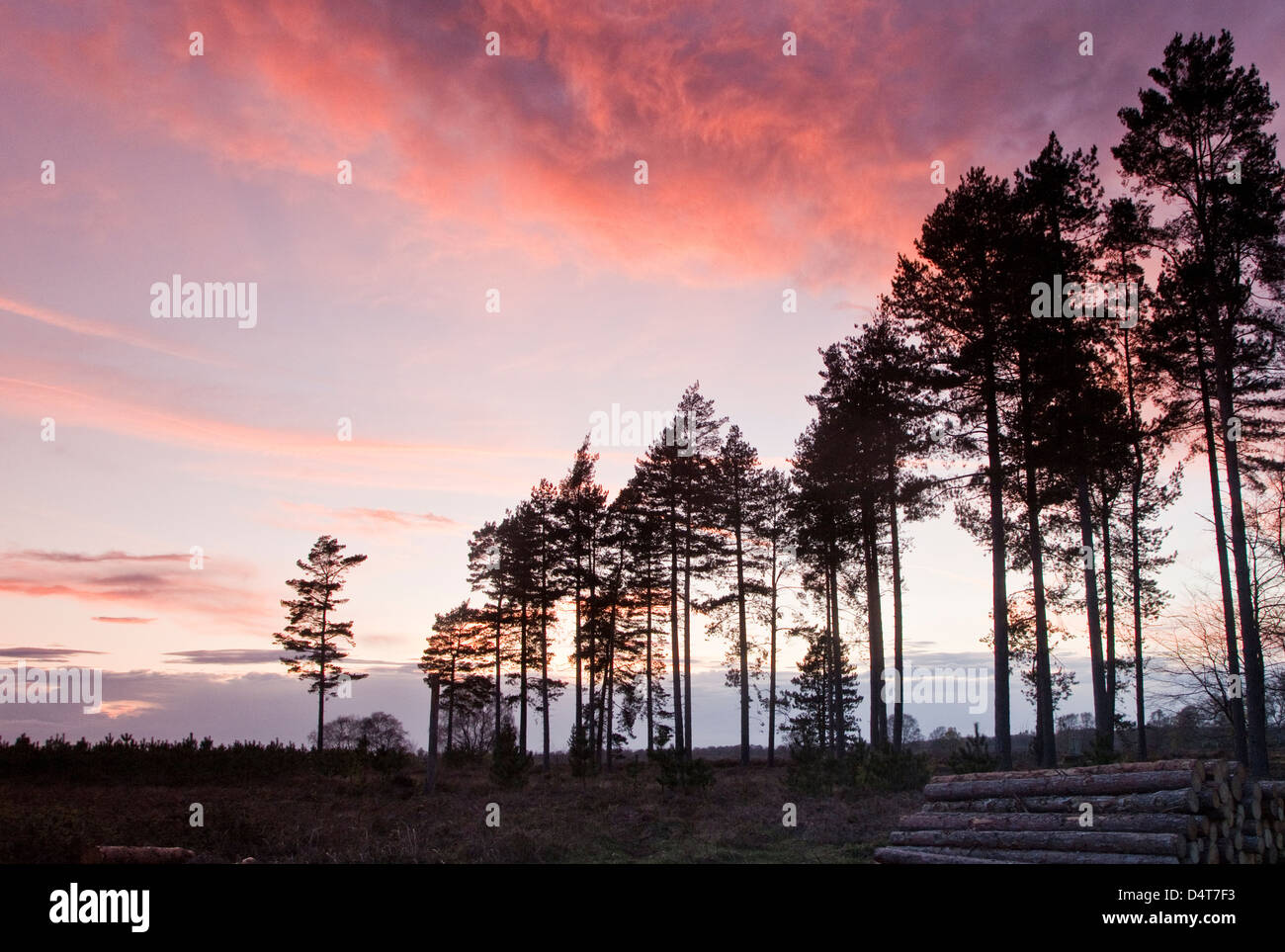 Twighlight or Dusk on Cannock Chase Area of Oustanding Natural Beauty in Spring Staffordshire Engalnd UK - Stock Image