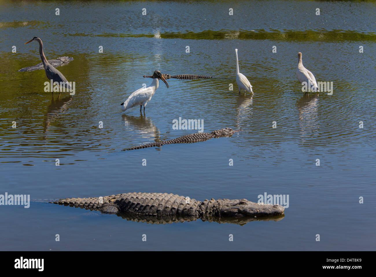 Alligaors and birds together at Gatorland in Orlando Florida - Stock Image