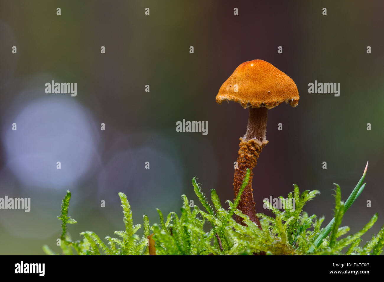 An earthy powdercap (Cystoderma amianthinum) growing amid fronds of moss in Clumber Park, Nottinghamshire. October. - Stock Image