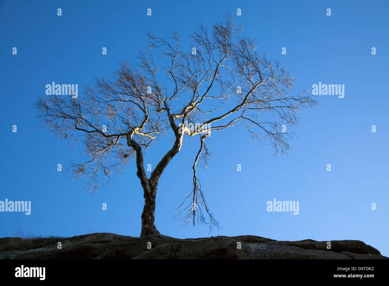 Silver Birch Tree Brimham Rocks North Yorkshire - Stock Image