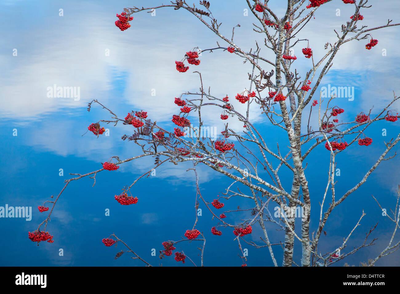 Autumn berries on a rowan tree (sorbus aucuparia) beside Lough Conn, Co Mayo, Ireland. Stock Photo