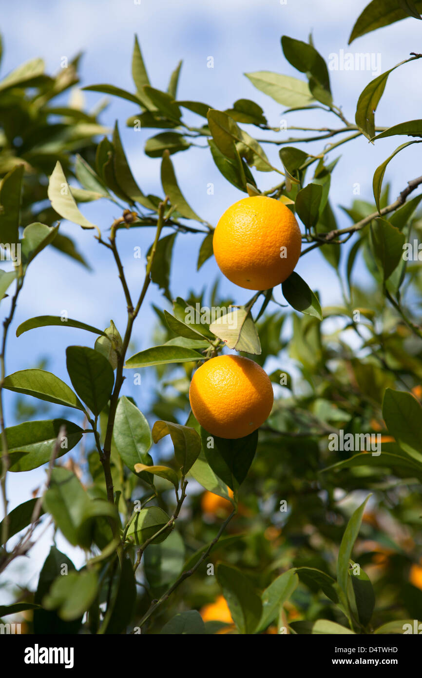 Ripe Oranges on Trees in Andalusia / Almeria Province, Spain - Stock Image