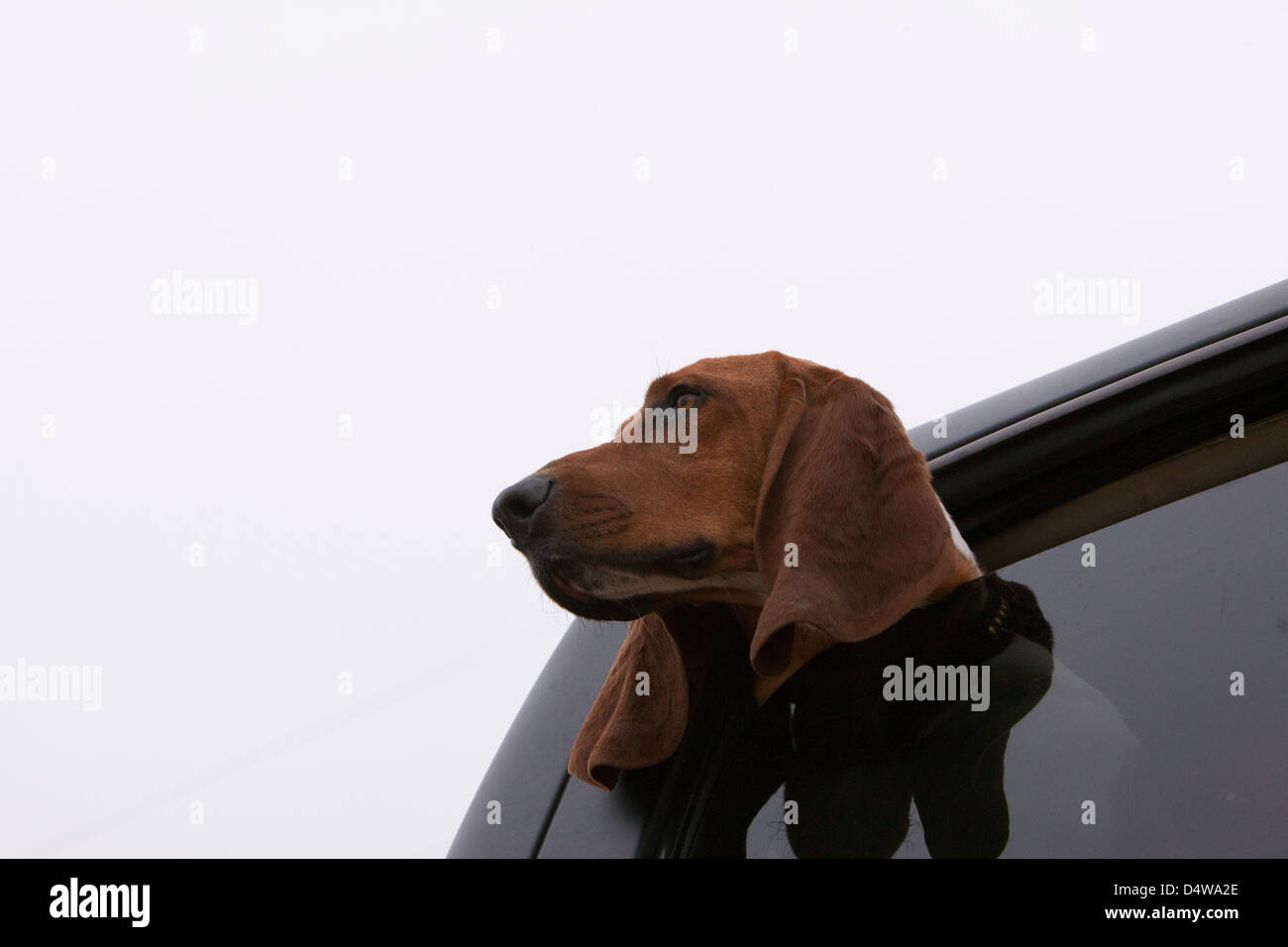 Dog poking head out car window - Stock Image