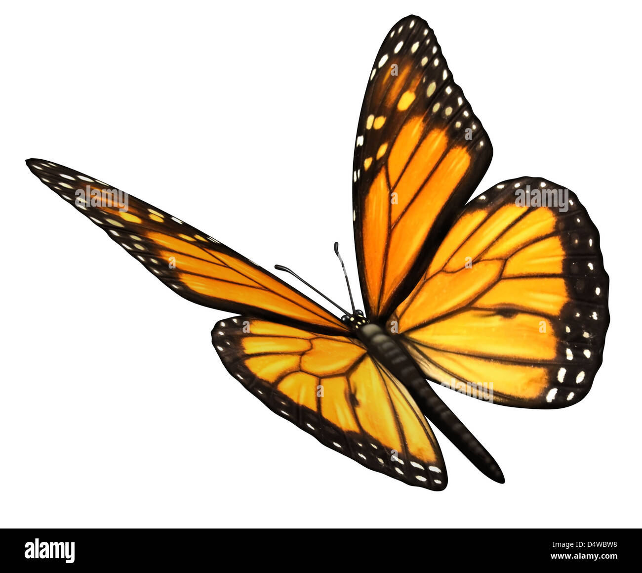 Monarch Butterfly isolated on a white background angled in a three quarter view with open wings as a natural symbol - Stock Image