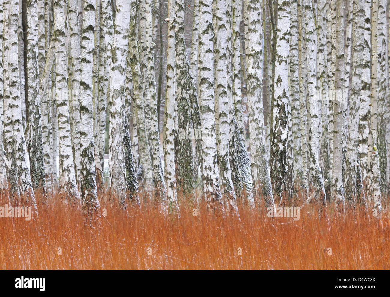 Forest of silver birch trees in a row, Gunnebo, Mölndal, Sweden, Europe - Stock Image
