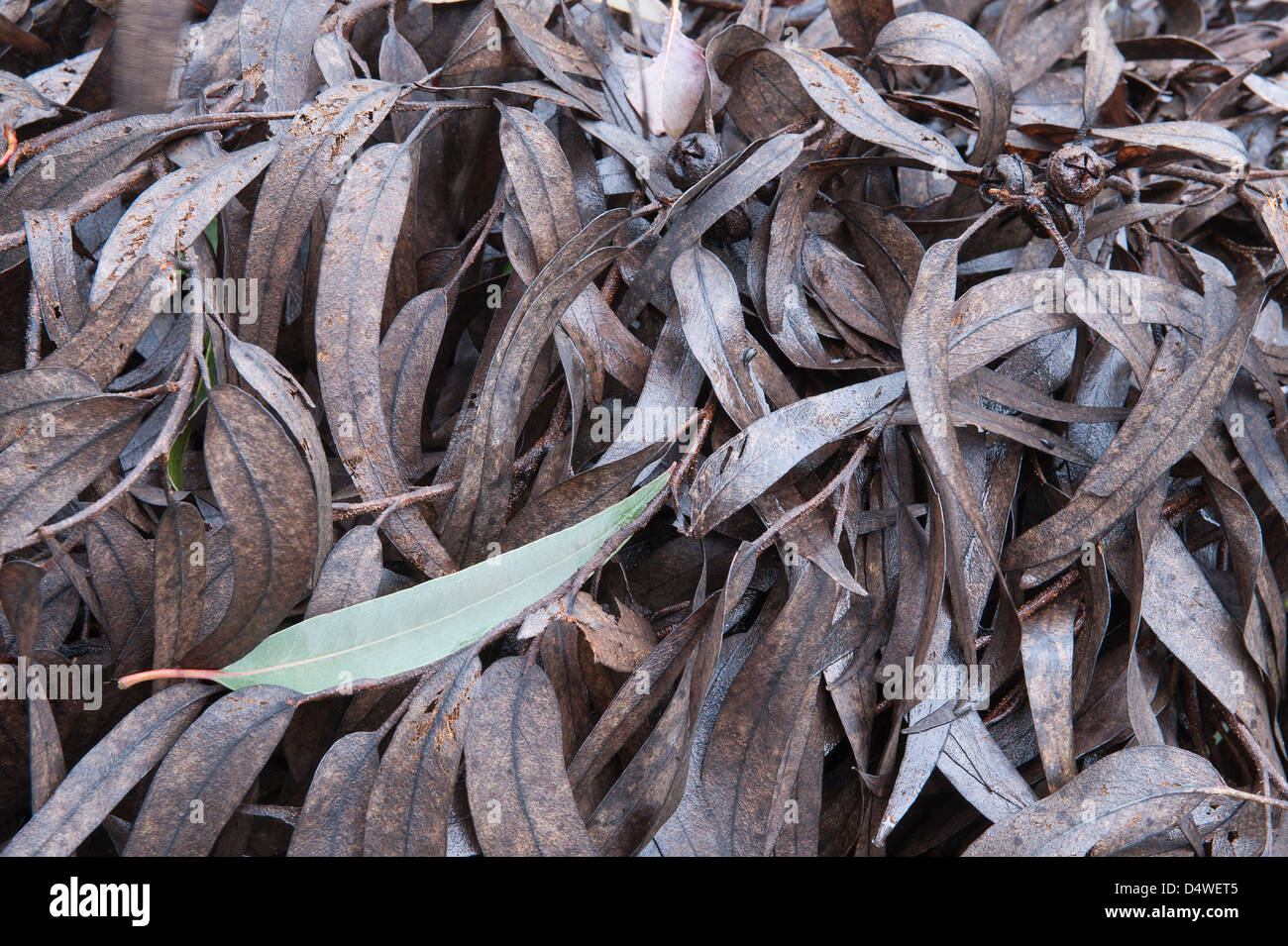 Blue Gum (Eucalyptus globulus) branches with leaves left after harvest Foia Algarve Portugal Iberian Peninsula Europe - Stock Image