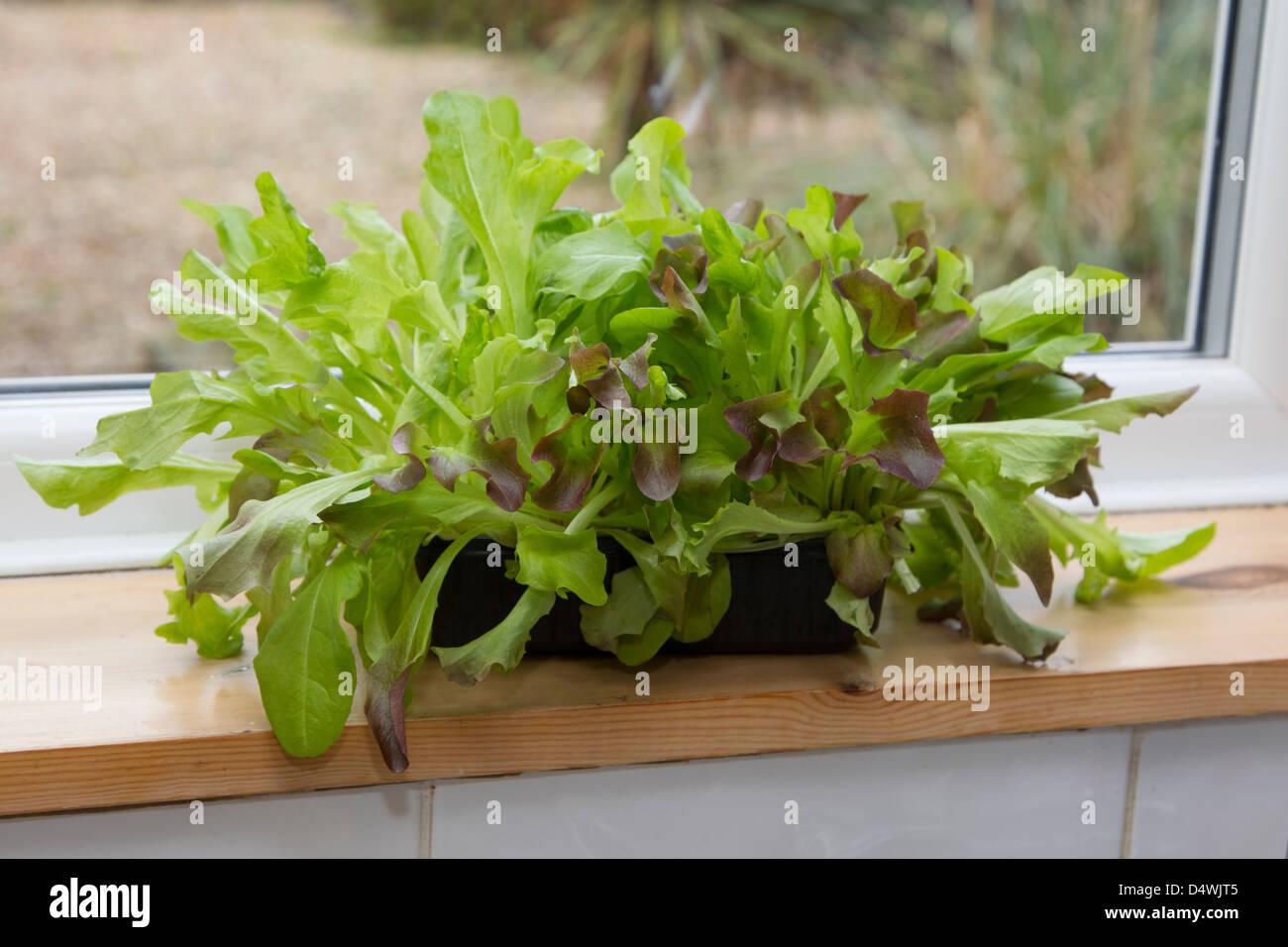 Living salad on a windowsill - Stock Image