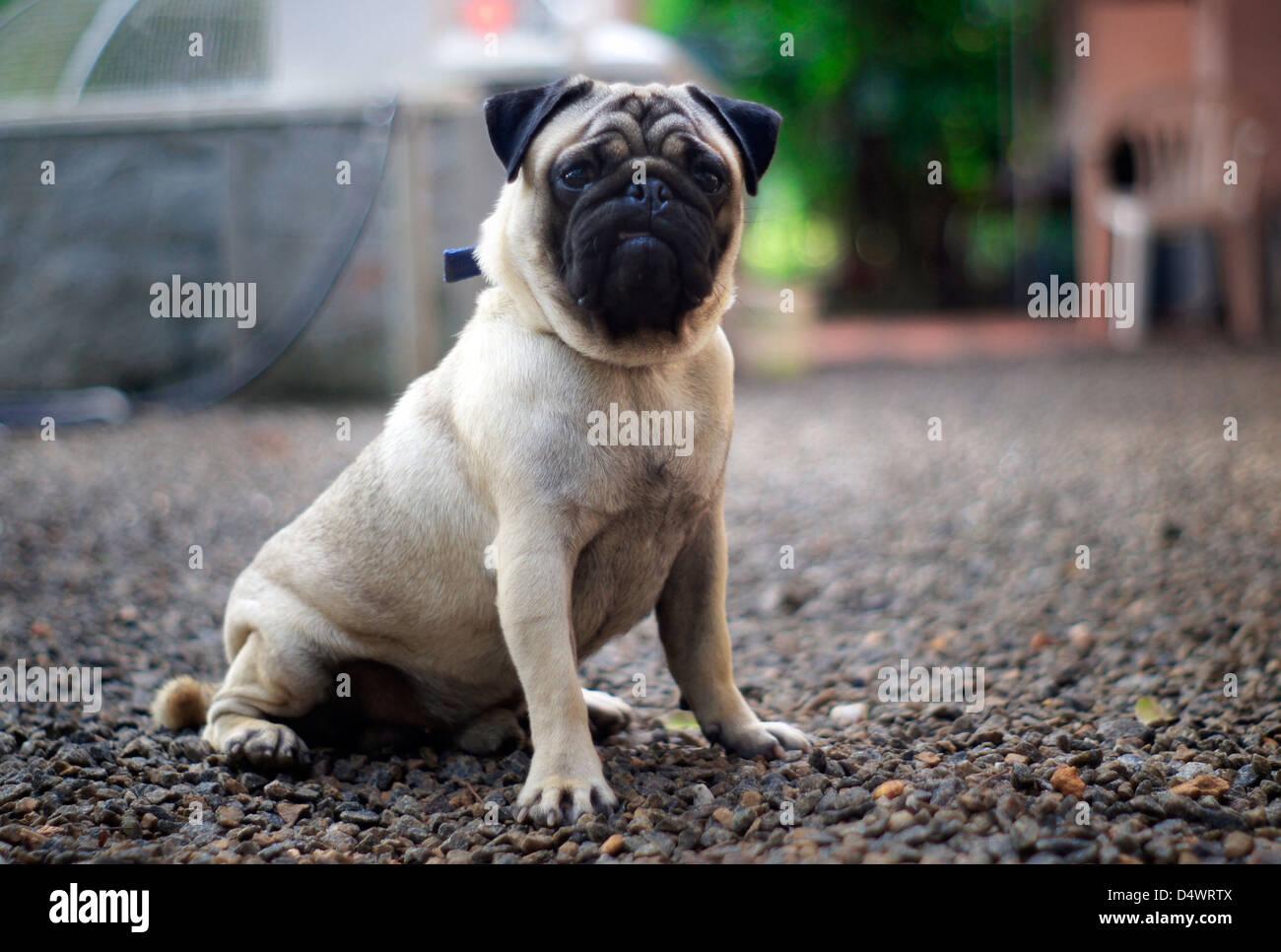 A PUG Dog curiously looking at the camera - Stock Image