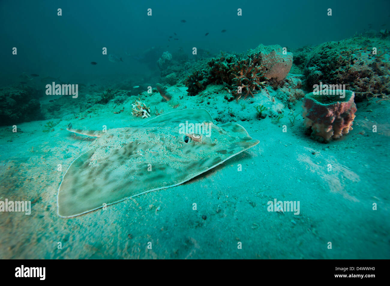 A Southern Stingray on the sandy bottom off the coast of Panama City, Florida. - Stock Image