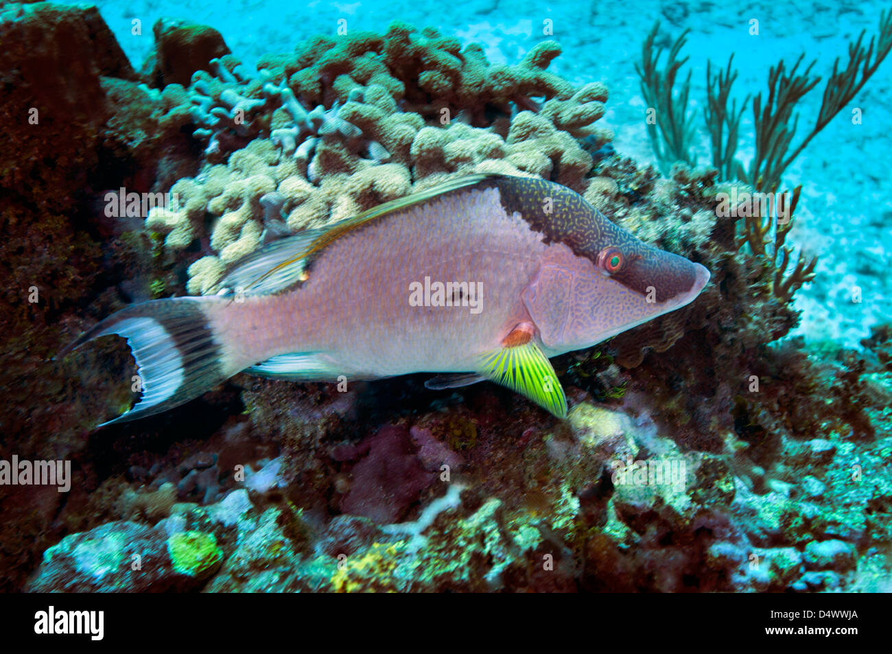 A Hogfish (Lachnolaimus maximus) swimming above a coral reef offshore of Grand Cayman Island. - Stock Image