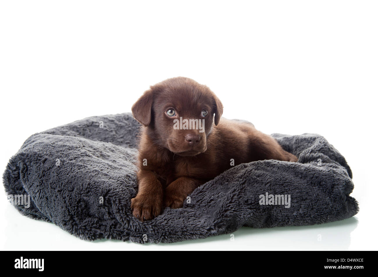 Adorable brown labrador retriever puppy laying on dog bed, - Stock Image