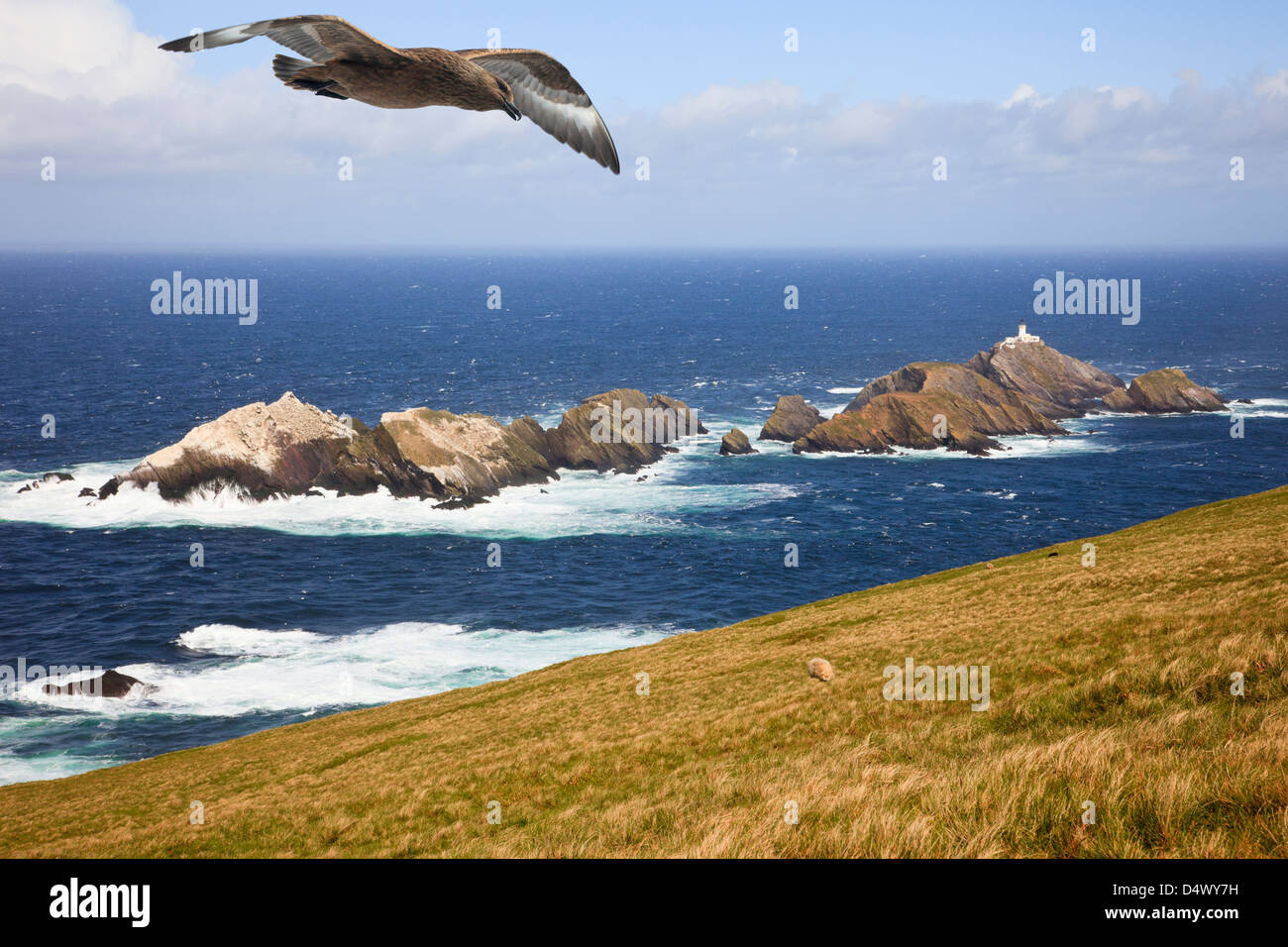 Muckle Flugga rocky islands from Hermaness National Nature Reserve with Great Skua flying overhead. Burrafirth, - Stock Image