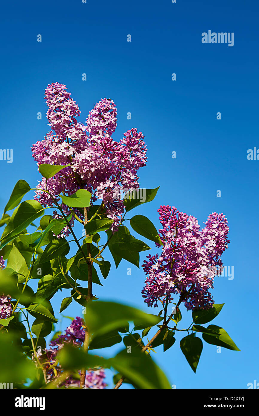 beautiful lilacs on the blue clean sky background - Stock Image