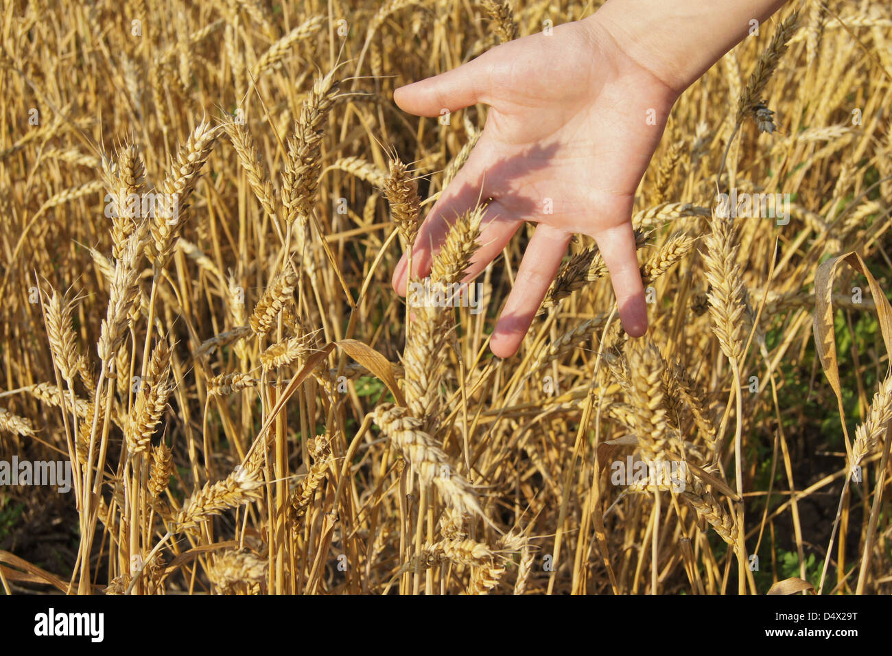 the hand of the person touches wheat cones in a big field in a sunny day - Stock Image
