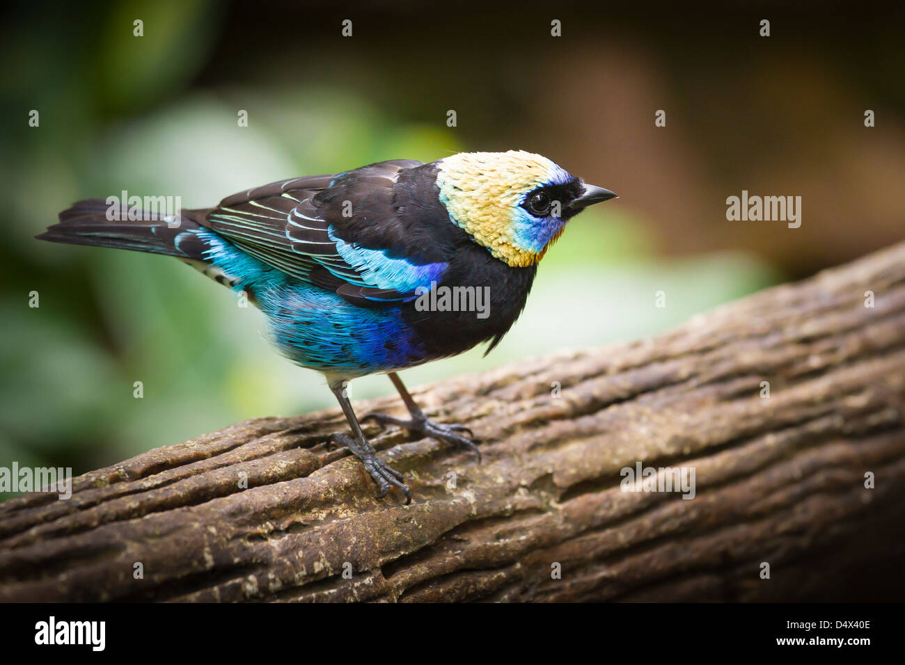 Golden-hooded Tanager (Tangara larvata) sitting on a trunk. It is a passerine bird living in central America - Stock Image