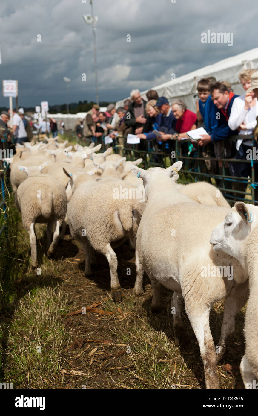 Sheep leaving sale ring after being sold at Thame sheep fair 2012 - Stock Image