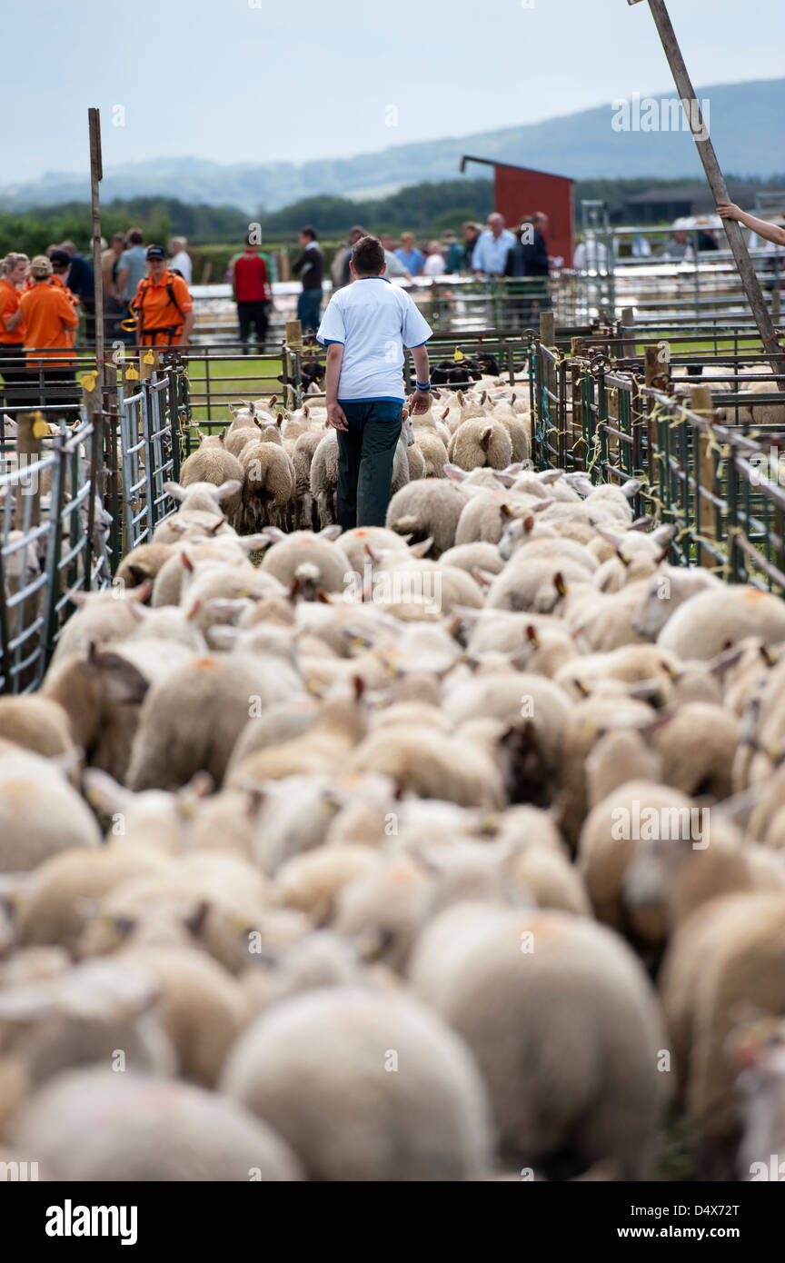 Breeding sheep heading to sale ring at Thame sheep fair 2012 - Stock Image