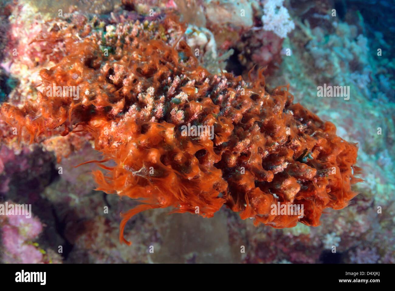 Red Slime Algae Cyanobacteria damaging the Great Barrier Reef, Coral Sea, Pacific Ocean, Queensland, Australia - Stock Image