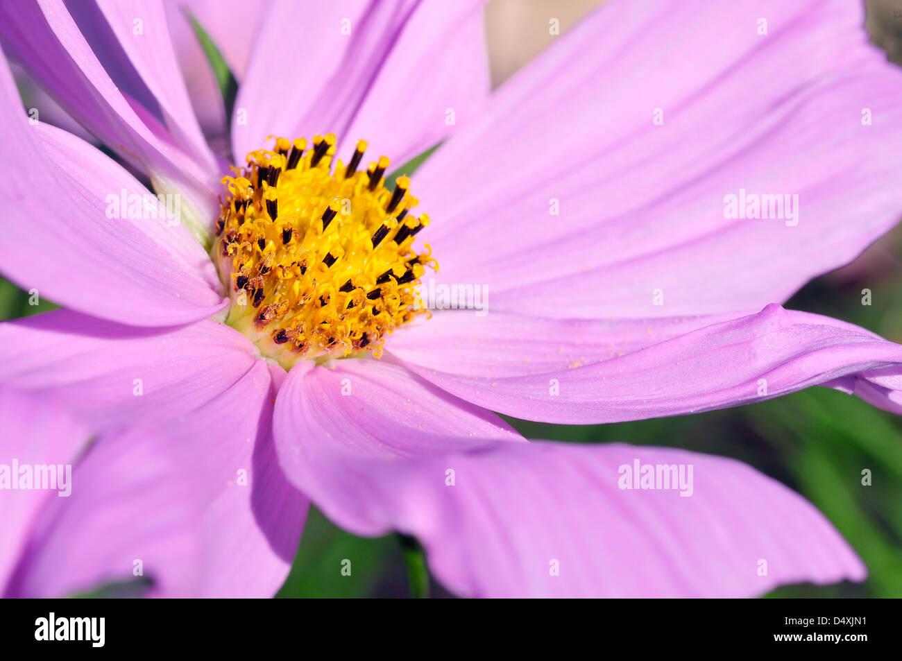 Macro of purple cosmos bipinnatus flower - Stock Image