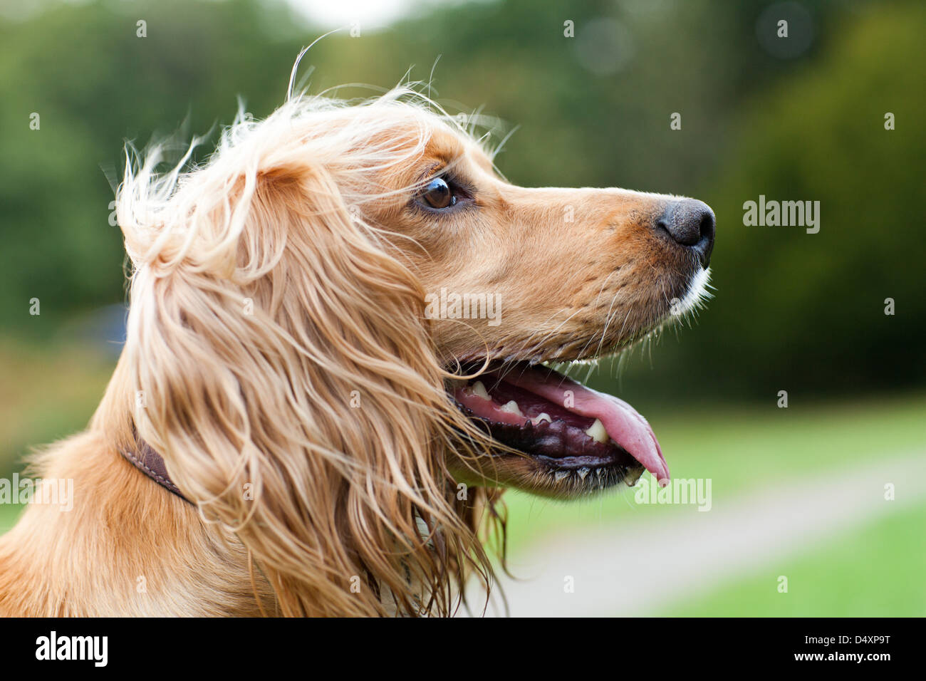 Profile head shot of a golden Working Cocker Spaniel taken on the 'South of France'  field in Southborough, - Stock Image